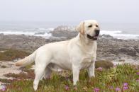 Labrador Retriever Photo Desktop Best Quality HD