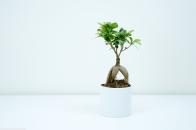Bonsai plant indoor