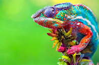 Green forest nature and Chameleon