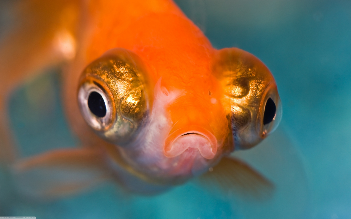 Amazing Telescope Goldfish Aquarium Wallpaper