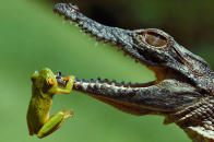 Cool Alligator