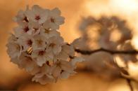 Cherry blossoms sunset