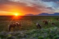 Wild, horses, at, sunset