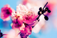 Cherry 4k 5k Wallpaper Blossom Branch Spring Pink