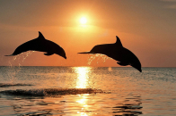 Sunset and Dolphin jump Background