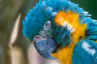 Wallpaper Blue and yellow macaw, 5K