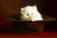 Colorful Eyes Kitten HD Wallpaper