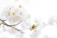 White cherry plum flowers