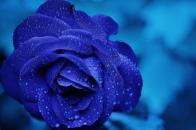 Blue, rose, macro,