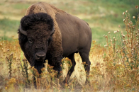 Cool American Bison
