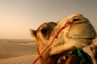 Camel 1920×1200 Pictures