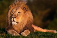 Lion relex mood