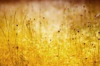 Golden wild flowers