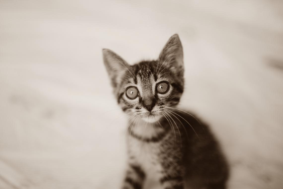 Cat national pet day april 2021