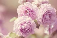 Pink roses vintage