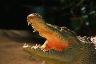 Alligator Backgrounds