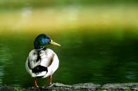 Duck 1280x800