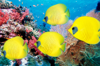 Yellow, butterfly, fish