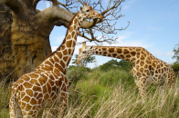 Giraffe Animal eating tree