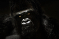 Full black widescreen Gorilla Wallpaper