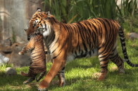 Tiger Mother With Baby Forest Visit Wallpaper