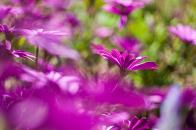Daisies blur