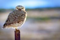 Backlit owl