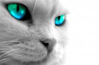 Beautiful White Cat 4k Wallpaper