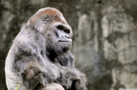 Download The Most Beautiful Thoughtful Gorilla Wallpaper