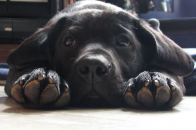 Cute labrador lying wallpaper