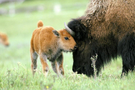 American bison baby Backgrounds